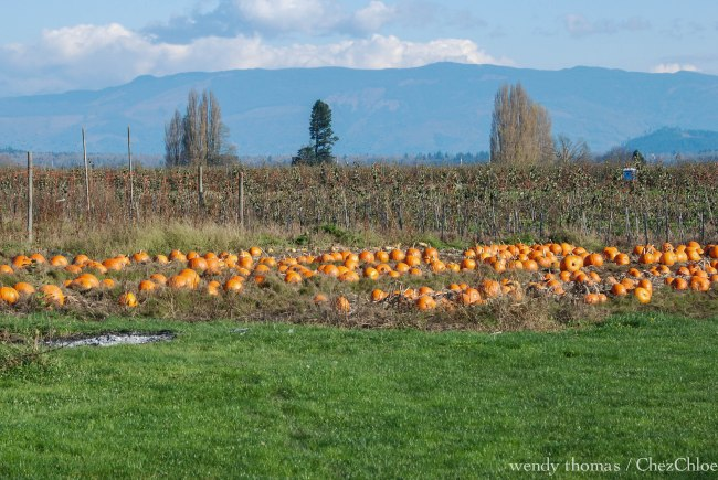 Pumpkins Padilla Bay