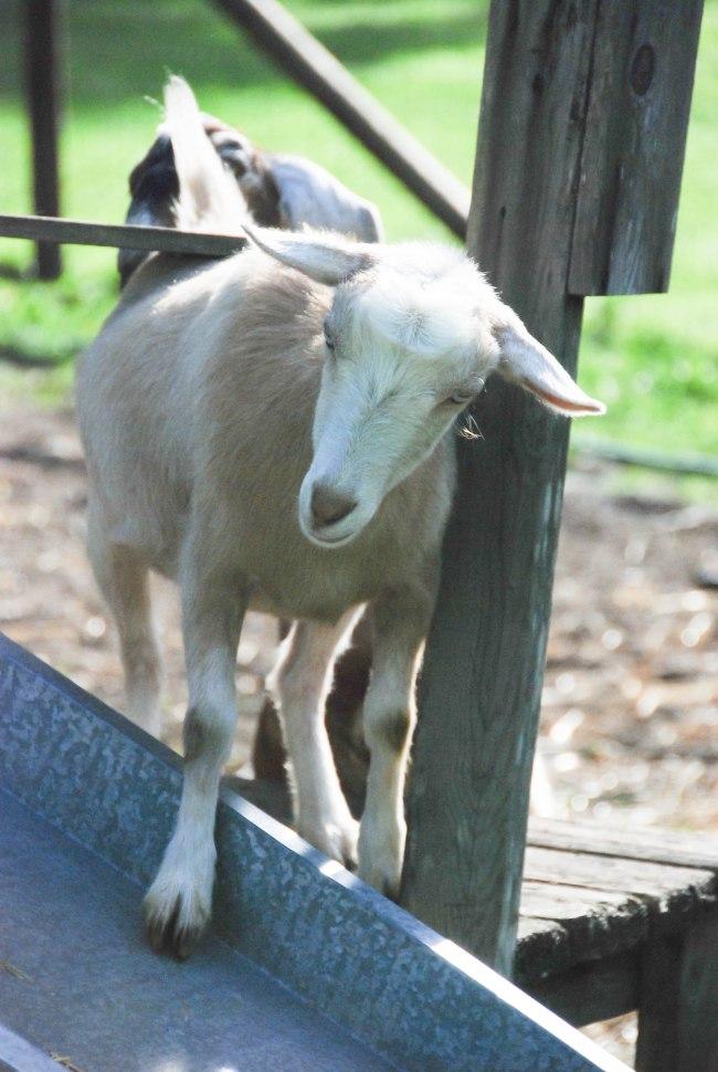 goats 5-15-10
