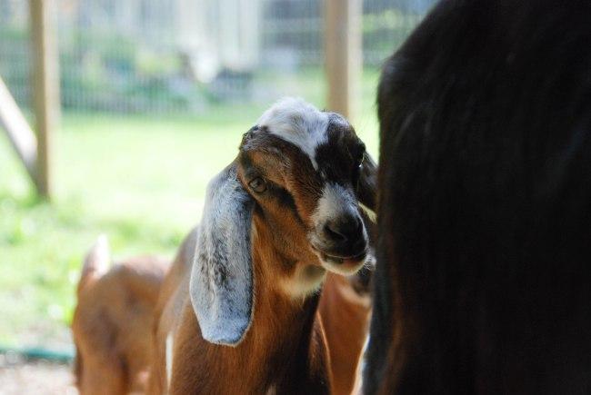 goats 5-15-12