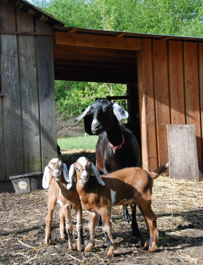 goats 5-15-2