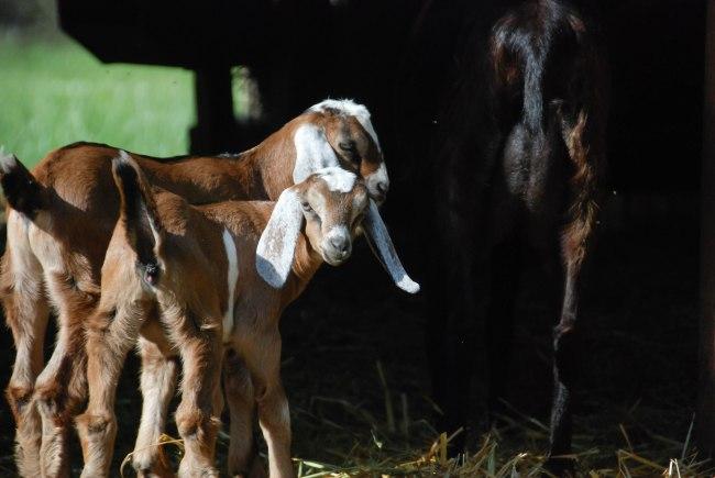goats 5-15-4