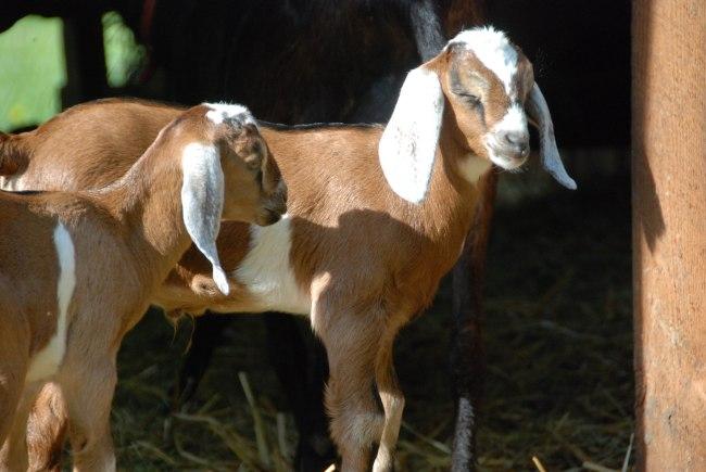 goats 5-15-5