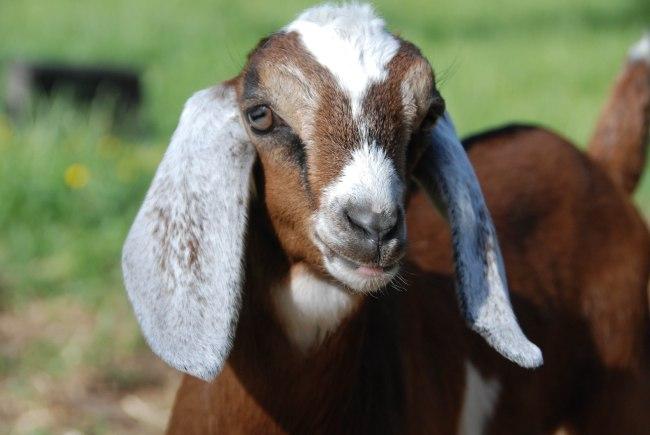 goats 5-15-6