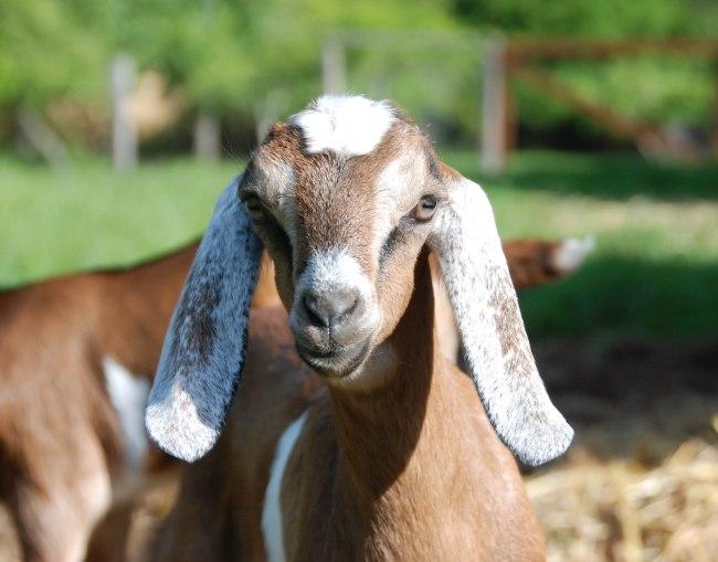goats 5-15-7