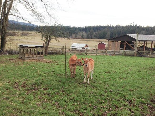 baby calf buddies